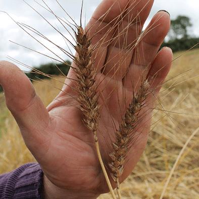Welsh Grain